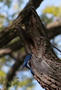 Here the male stuffs food into unseen nestlings in a bur oak cavity.
