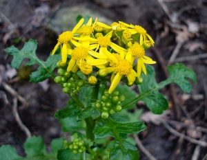 Butterweed is an uncommon and short-lived member of the ragwort group.