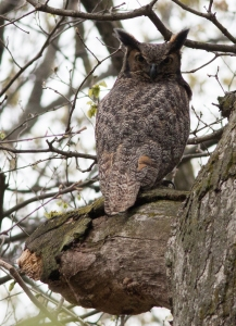 Nothing is quite like the glare of a great horned owl who doesn't want you around.