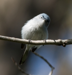 Blue-gray gnatcatchers are common on the preserve, and are among the earliest nesters.