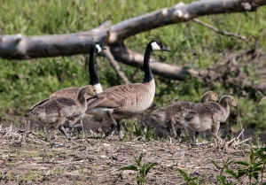 I am not sure where this goose brood came from, but they have found the restored stream corridor to their liking.