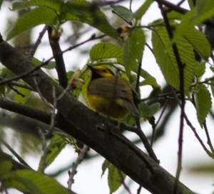 I am hoping this hooded warbler, singing among the thicketed portions of the central forest, will find a mate and nest there.