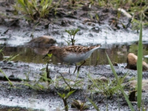 After the water receded, the deposited mud interested a few late shorebird migrants, including this least sandpiper.