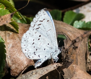 Another early season butterfly is the spring azure.