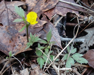 Swamp buttercups are common throughout.