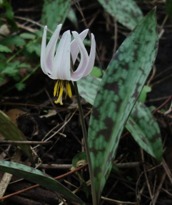 White trout lilies are abundant, but they began to bloom later at SJF than in other area forests.