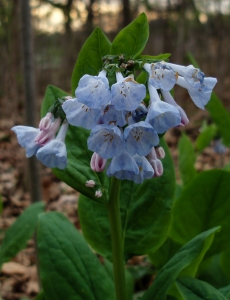 Virginia bluebells always are a welcome sight this time of year. The ones at St. James Farm probably originated in the estate's gardens, but have made themselves at home in scattered places well away from there.