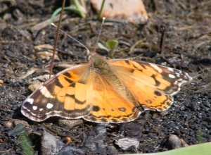 A few American lady butterflies appeared early in May.