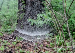 Morning dew highlights the abundant webs of bowl and doily spiders.