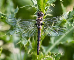 The most abundant dragonfly in recent days has been the common baskettail. Though they usually are seen on the wing, this one gave me a rare opportunity for a perched shot.