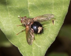 Epalpus signifer is a tachinid fly, a parasite of caterpillars.