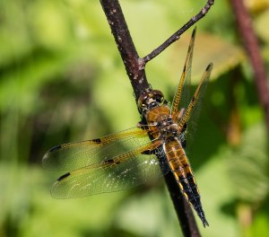 Though my main interest was singing insects, there were many four-spotted skimmers to enjoy at IBSP.