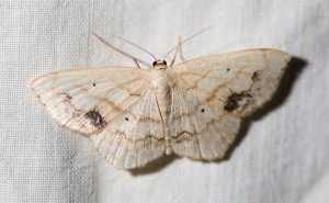 The UV light at Goose Pond brought in some moths. This one was familiar, a large lace border.