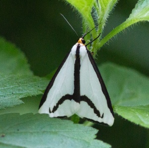 LeConte's haploas are tiger moths that occur in the St. James Farm forests.