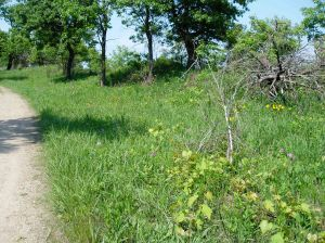 Farther back from the edge of Lake Michigan, black oak savanna lines the trail.