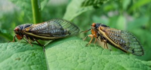 A 2007 photo of representatives of DuPage County's two species of 17-year periodical cicadas: Linnaeus's on the left, Cassin's on the right.