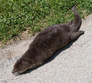 I had heard that otters have returned to the Tippecanoe River. This one climbed a tributary to reach the Maxinkuckee Wetlands, and became a casualty.