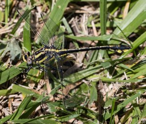 I also have spent some time in Kendall County. This plains clubtail was at Hoover Forest Preserve.