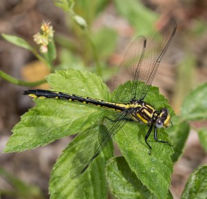 A number of rapids clubtails worked the sandy power line corridor at Memorial Forest.