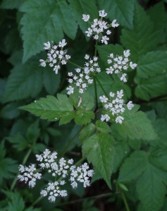 Both the smooth sweet cicely, shown here, and the hairy sweet cicely are among the late spring forest wildflowers at SJF.
