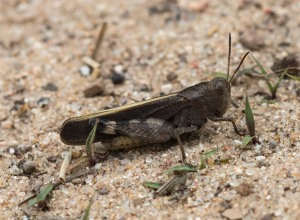 At some sites, males had striking yellow edges on their forewings.