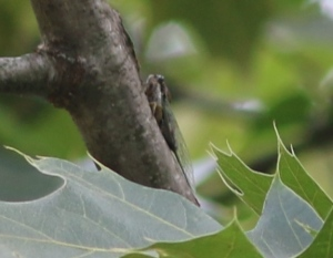 This distant photo is the best I have so far of a green-winged cicada.