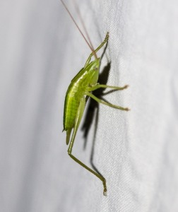 This katydid nymph climbed up onto the sheet illuminated by the UV light. I am reluctant to say which conehead species she might be.