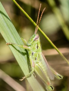 This grasshopper has a somewhat slanted face, and color markings reminiscent of stridulating grasshoppers in genus Orphulella.