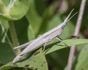 The blade-like antennas, subtle striping pattern, and especially the gangly skinniness of the critter were distinctive.