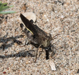 Here is a typical dark male, Illinois Beach State Park.