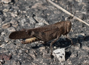 These are large grasshoppers, approaching Carolina grasshoppers in bulk.