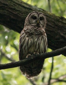 This barred owl appeared during a walk through St. James Farm Forest Preserve. I believe I had come close to its nest tree.