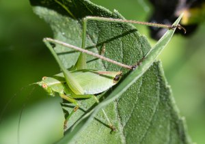 This nymph is recognizable as a male fork-tailed bush katydid by the distinctive appendages at the tip of his abdomen.