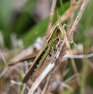Female handsome grasshoppers have green highlights in place of the male's brown ones.