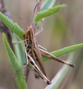 The handsome grasshopper always is a delight. This one is a male.