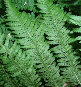 Sporangia on the underside of a lady fern leaf at St. James Farm.