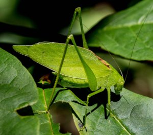 Widely scattered small groups of rattler round-winged katydids could be heard at night.