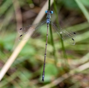 Here is the first slender spreadwing I have found at St. James Farm.