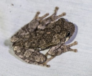A Cope's gray treefrog hopped in, possibly sensing the smorgasbord we had created.