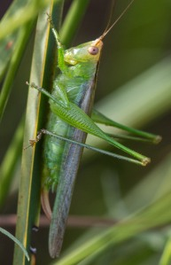 I labeled this photo as a delicate meadow katydid; the green face seemed unambiguous.