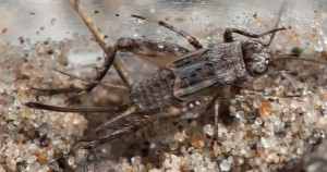 The cricket was a female, probably made vulnerable by her moving about seeking a singing male.