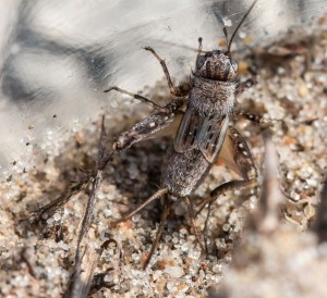 Gray ground crickets are well named. I especially like the head stripes and the little dark rectangular markings on the wings.