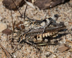 Kiowa rangeland grasshoppers occupy the same ecological zone as the gray ground cricket.