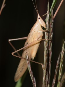 The loudest nighttime insect singer was the robust conehead. We saw both brown and green males.