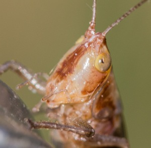 Even this nymph has the facial stripe, but it is brown and relatively fuzzy-edged compared to what it ultimately will become. New adults have the same brown colors, even though they are mature enough to sing and to mate.