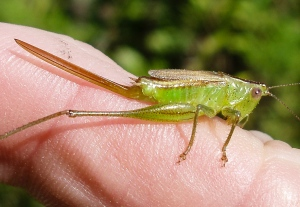 Typical female short-winged meadow katydid