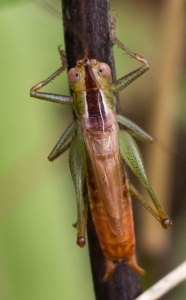 Compare this common meadow katydid, with its relatively narrow and straight-sided tip of the head, to the previous.