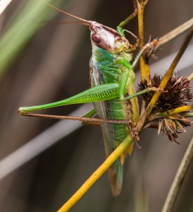 On October 5 I made a final trip up to Illinois Beach State Park, and found some stripe-faced meadow katydids still singing.