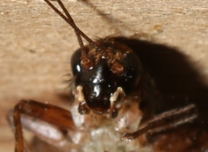 The mix of colors and patterns on the head, in particular, give the variegated ground cricket its name.