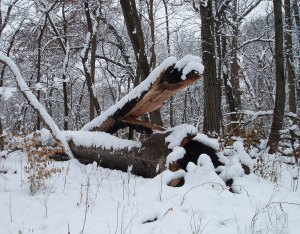 A victim of that phenomenon was the large white oak that harbored the great horned owl nest last winter.
